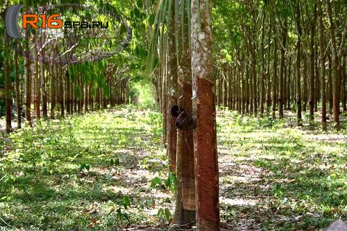 Каучуковые леса